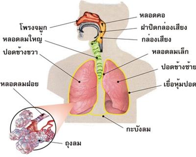 ผลการค้นหารูปภาพสำหรับ อวัยวะในระบบหายใจ
