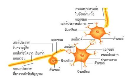 เซลล์ประสาท